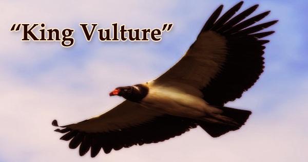 "A beautiful bird ""King Vulture"""