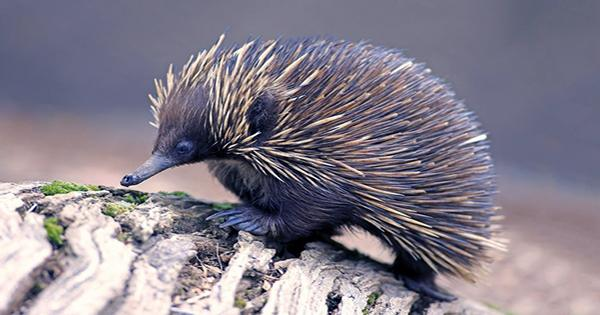 Echidnas Have a Four-Tipped Penis but Only Use Half of it at Once