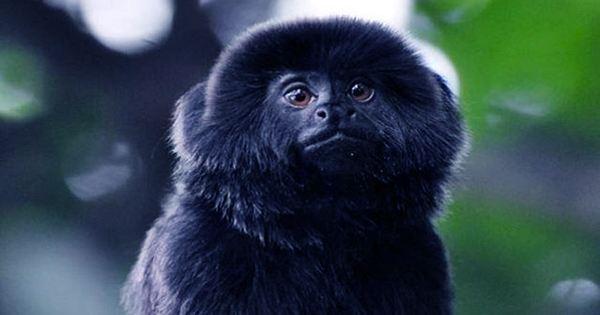 Farm Escape Confirmed as Origin of Peculiarly Placed Vervet Monkeys in Florida