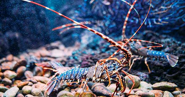 """Freckles the """"One In 30 Million"""" Calico Lobster Narrowly Avoided Becoming Dinner"""