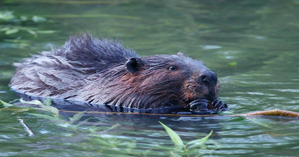 Nibbling Beaver Causes Internet Outage In A Very Canadian Turn Of Events