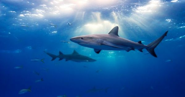 Sharks Use Earth's Magnetic Field Like Satnav To Navigate The Ocean