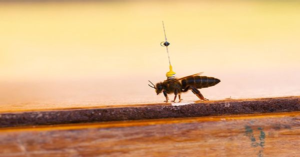 The Secret Aerial Sex Lives of Honeybee Drones Revealed Using Radar Technology