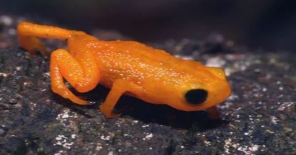 Tiny New Species Of Pumpkin Toadlet Packs Some Seriously Deadly Poison