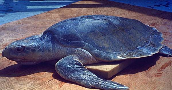 """Tiny Trackers Reveal Where Turtles Disappear To During Their """"Lost Years"""" At Sea"""