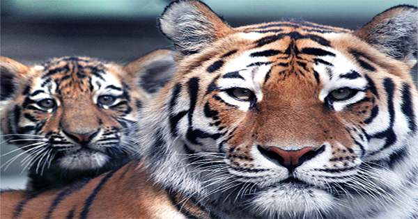 Toronto Zoo Welcomes Three Tiny Endangered Amur Tiger Cubs
