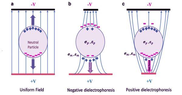 Dielectrophoresis – an Electrostatic Phenomenon
