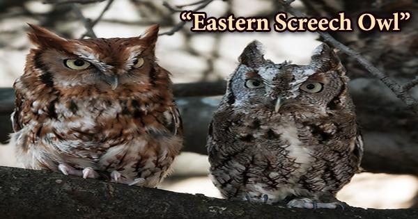 "A beautiful bird ""Eastern Screech Owl"""