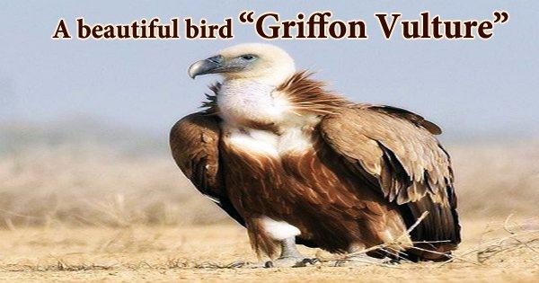 """A beautiful bird """"Griffon Vulture"""""""