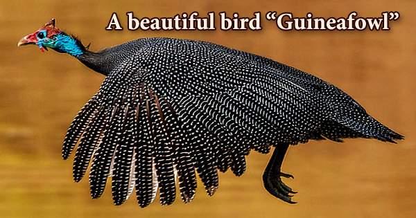 "A beautiful bird ""Guineafowl"""