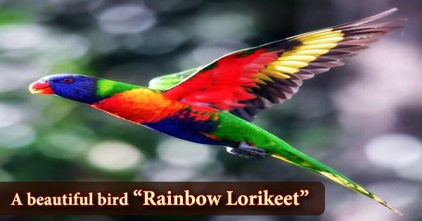"A beautiful bird ""Rainbow Lorikeet"""
