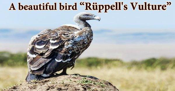 """A beautiful bird """"Rüppell's Vulture"""""""