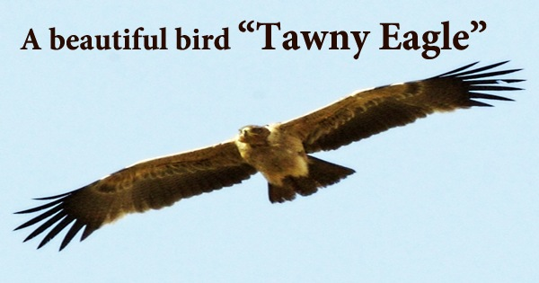 "A beautiful bird ""Tawny Eagle"""