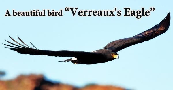 """A beautiful bird """"Verreaux's Eagle"""""""