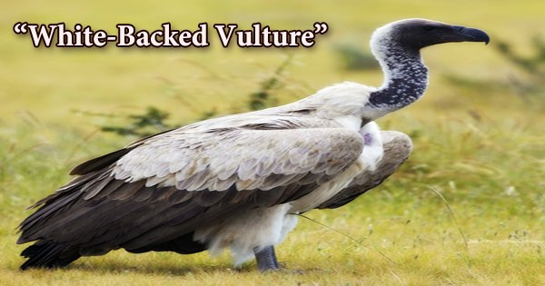 """A beautiful bird """"White-Backed Vulture"""""""