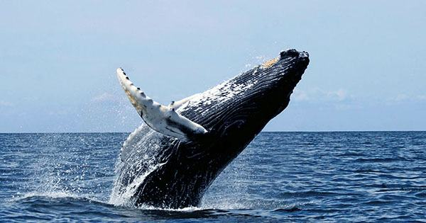 Bubble-Net Feeding Humpback Whales Spotted in Australia for the First Time