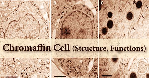 Chromaffin Cell (Structure, Functions)