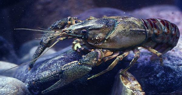 Crayfish Exposed to Antidepressants in their Environment behave more Boldly