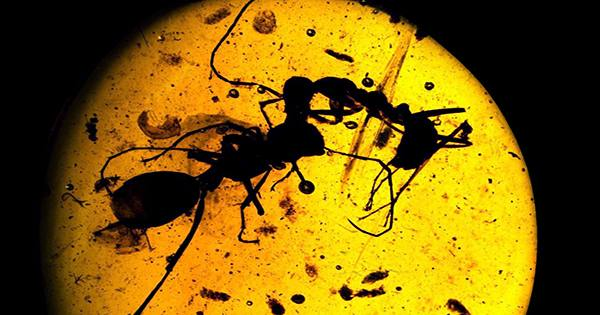 Cretaceous Snail Fossilized in Amber Right after giving Birth