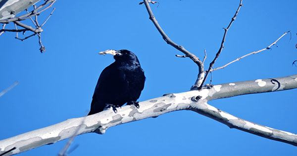 """Crow Photographed Covered in Ants is Fine, Just Showing Rare """"Anting"""" Behavior"""