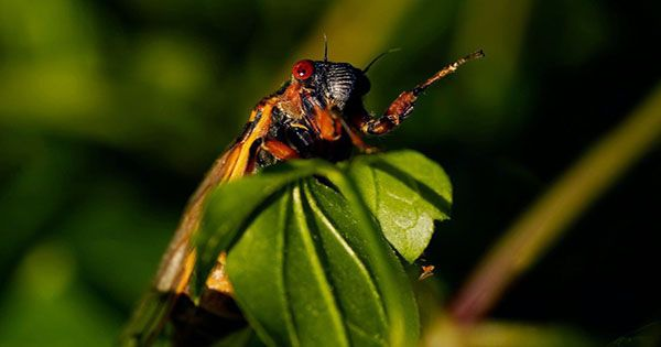 Don't Eat any Screaming Cicadas if You're Allergic to Seafood, FDA Warns
