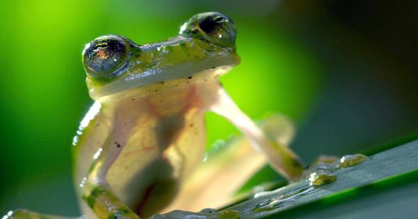 Faceplanting Frog Shows that Frogs Evolved to Leap before they could Land