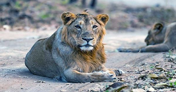 Lion Dies of Suspected COVID-19 in India, One of Nine to Test Positive