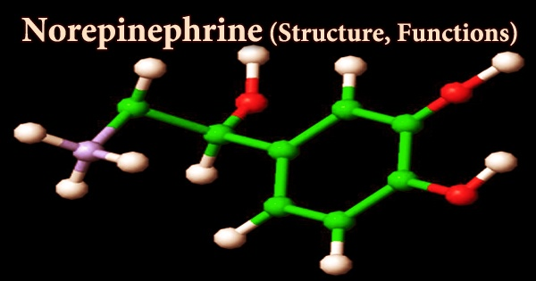 Norepinephrine (Structure, Functions)