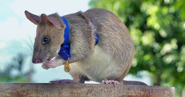 Retirement Party Planned for Hero Rat Awarded Gold Medal for Saving Human Lives