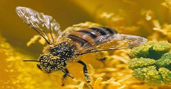 """Why Some Himalayan Bees Produce Hallucinogenic """"Mad"""" Honey"""