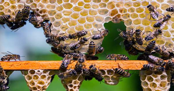 South African Honeybee Workers can Churn Out Millions of Genetically Identical Clones