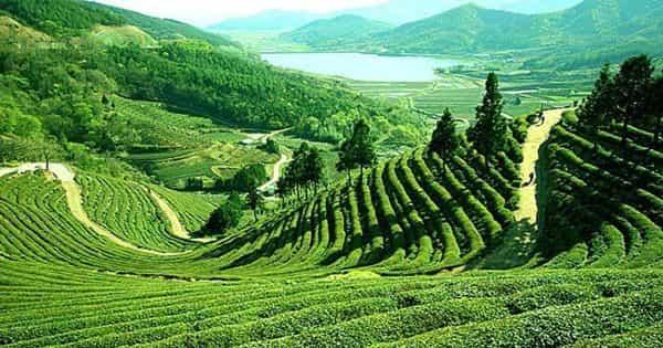 Tea – a Cash Crop of Bangladesh