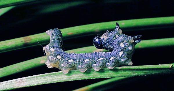 Upstate New York Forecast Poop Rain, the Culprit? Gypsy Moth Caterpillars