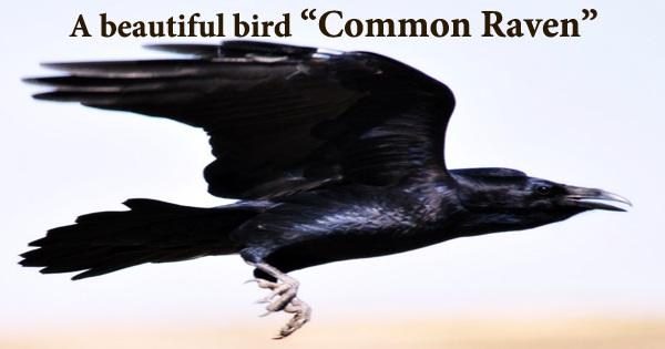 "A beautiful bird ""Common Raven"""