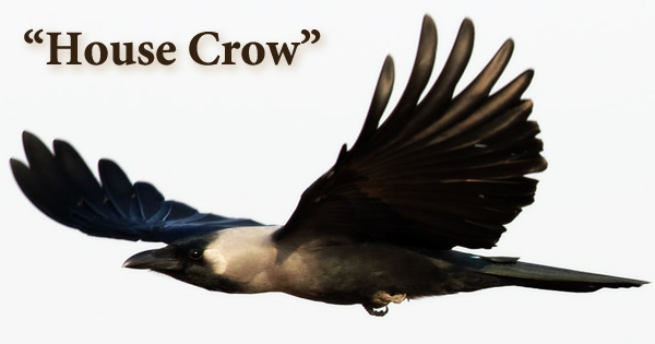 "A beautiful bird ""House Crow"""