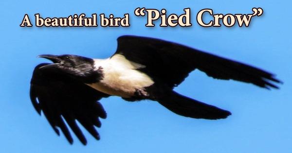 "A beautiful bird ""Pied Crow"""