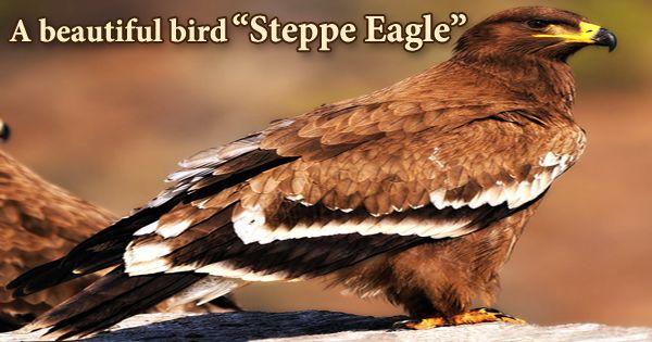 """A beautiful bird """"Steppe Eagle"""""""