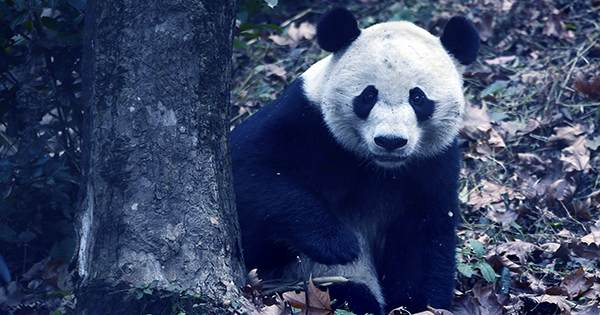 Giant Pandas No Longer Classified as Endangered in the Wild, China Announces