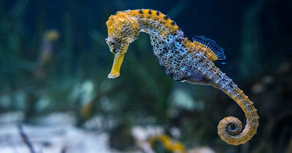 How do Male Seahorses give Birth? Study Unlocks Genetic Key to Male Pregnancy