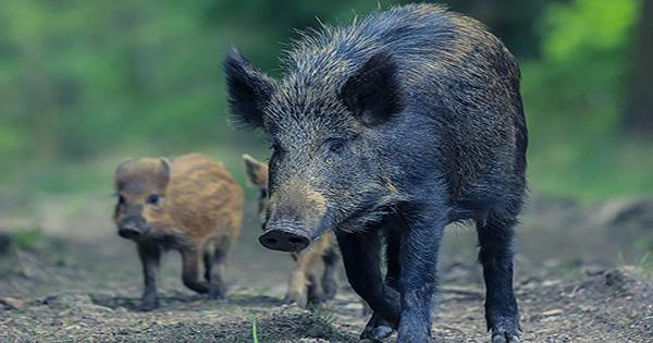 In Fukushima, Wild Boar and Escaped Farm Pigs have been Canoodling