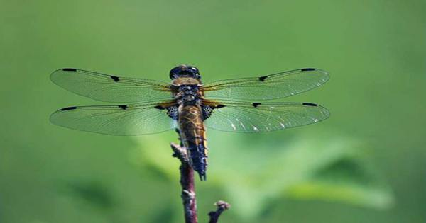 """Male Dragonflies to Lose Wing """"Bling"""" as Climate Crisis Continues, Study Says"""