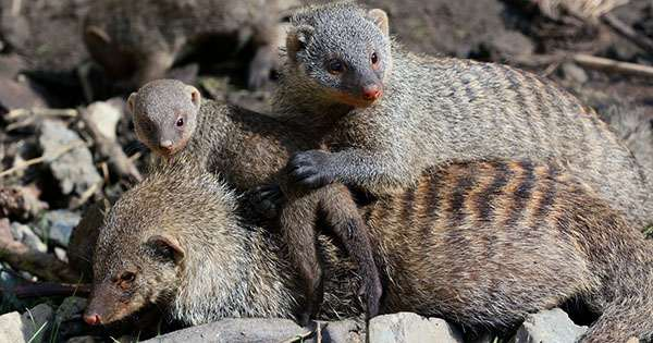 Mongooses Evolved a Fair Society because Parents don't Know which Pups are theirs