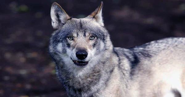 New Laws Spell Doom for Wolves in Montana, Idaho, and South Dakota