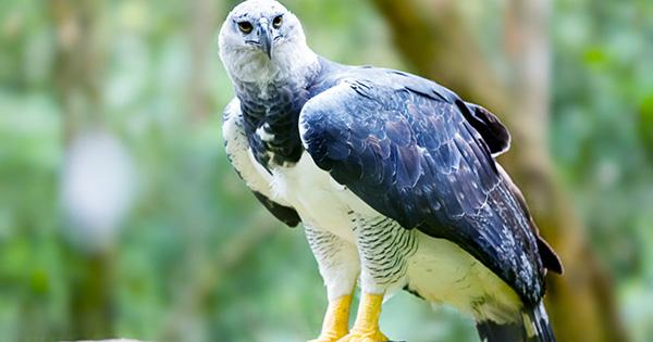 One of World's Largest Eagles Left Struggling to Feed their Young Due to Deforestation