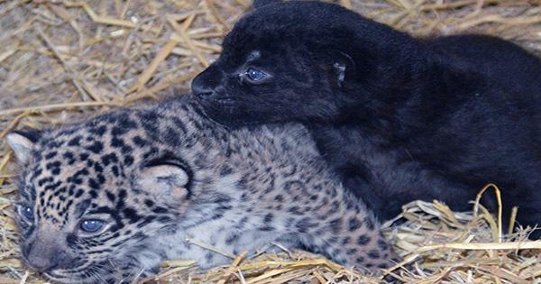Rare Adorable Black Jaguar Cub Born at Big Cat Sanctuary in the UK
