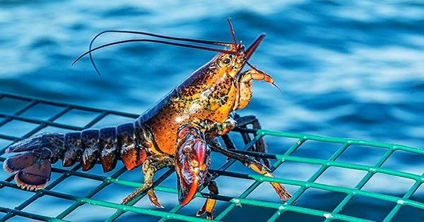 """UK May Ban Boiling Lobsters Alive Under """"Sentient Being"""" Law, so can they Really Feel Pain?"""