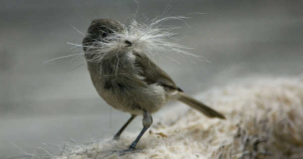 A Study Discovered Tufted Titmice Birds Steal Hair from Living Mammals