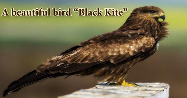 "A beautiful bird ""Black Kite"""