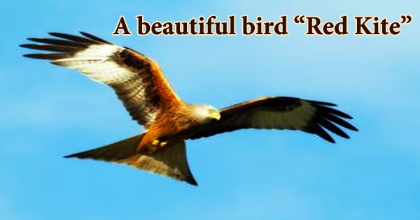 "A beautiful bird ""Red Kite"""