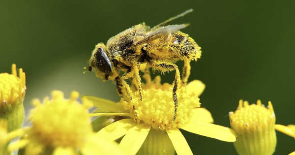 Bees are Harmed by Common Insecticides in Any Quantity